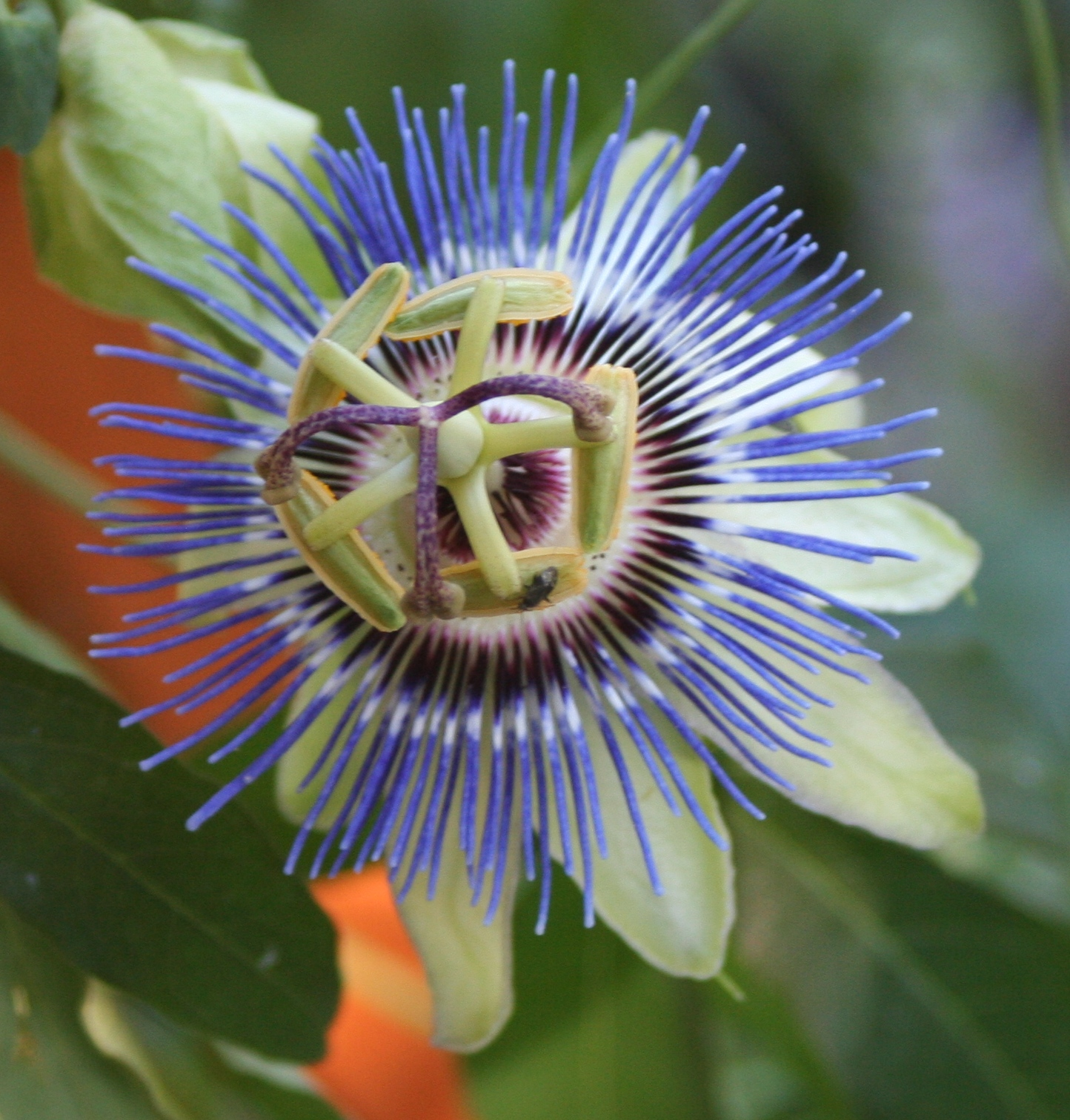 Passion Flower Vine Extract images
